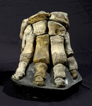 Fossile - Piede anteriore di mammut