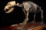 Fossile - Scheletro completo di maschio