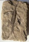 Fossile - Scheletro privo di testa