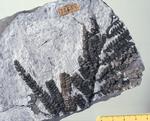 Fossile - Frammenti di fusto