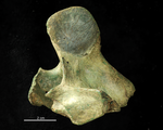 Fossile - Vertebra mammaliana