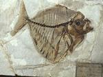 Fossile - Esemplare completo