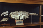 Fossile - Scheletro completo di cranio montato