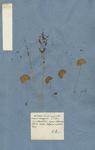 ACETOSA humilis repens folio rotundo emarginato