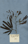 Acacia non spinosa flore albo, foliorum pinnis latiusculis glabris, siliquis longis planis
