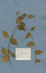 BANISTERIA lupuloides