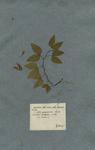 BAUHINIA foliis ovatis, lobis divaricatis
