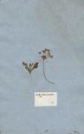Bellis hortensis prolifera