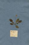 Bellis sylvestris minor