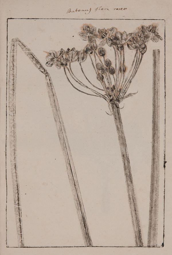 Butomus flore roseo dall'erbario impresso a fumo 'Stirpe specimina calcata'